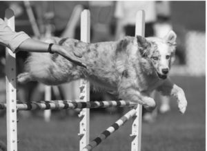 Haraway e Cayenne durante una gara di agility, foto di Richard Todd (When Species Meet, 226).